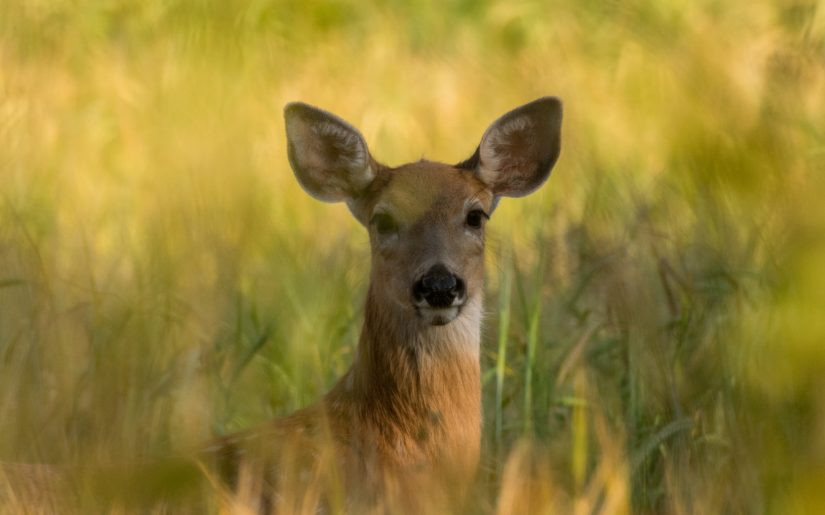 Whitetail doe partially hidden by tall grass, looking a camera.